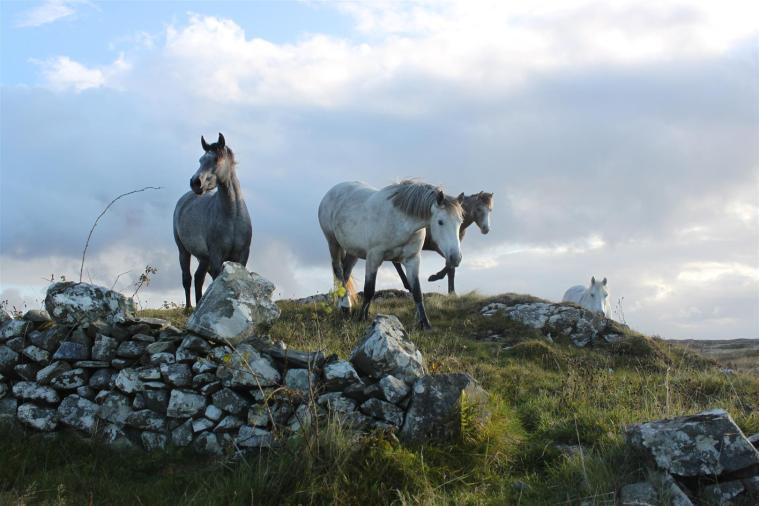Connemara ponys (Large)