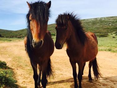 Wild Stallions on the Mountain